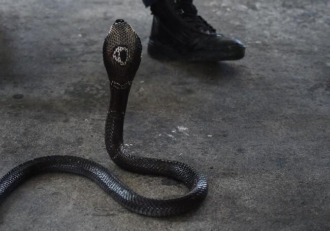 serpiente muerde en la lengua a hombre