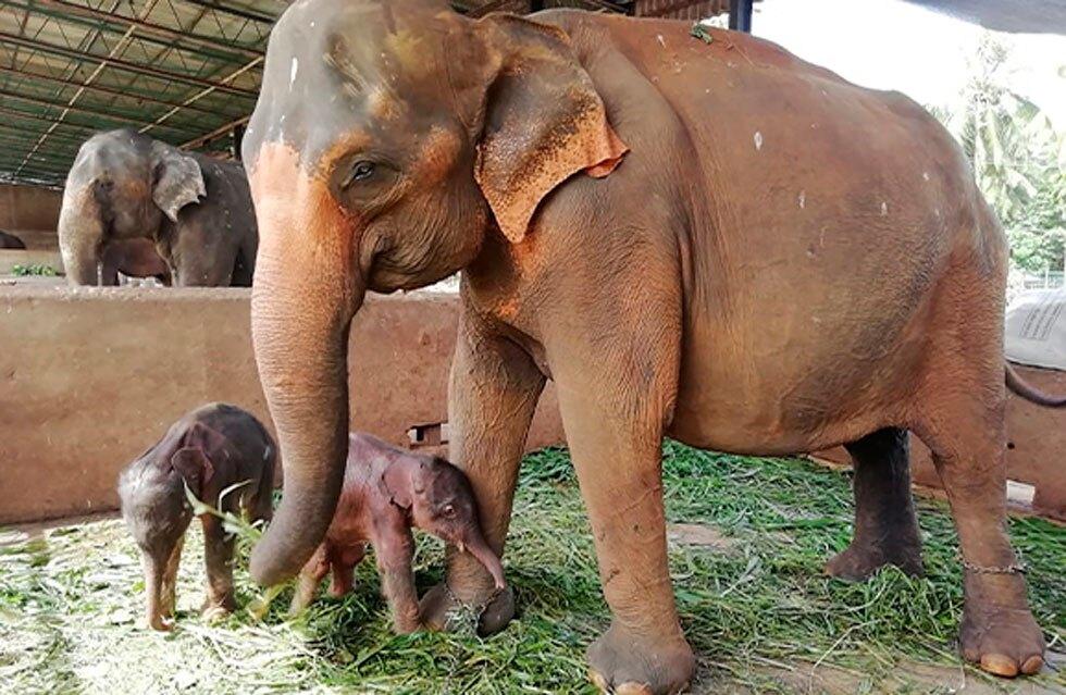 Elefante gemelos