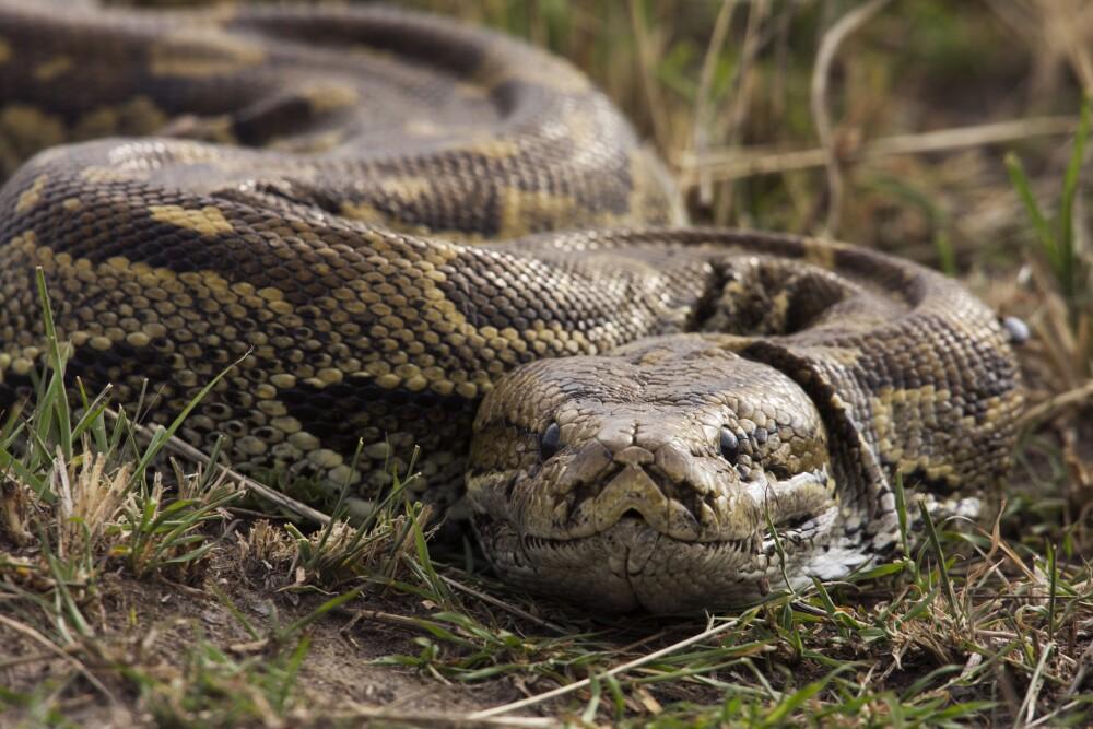 African rock python head portrait
