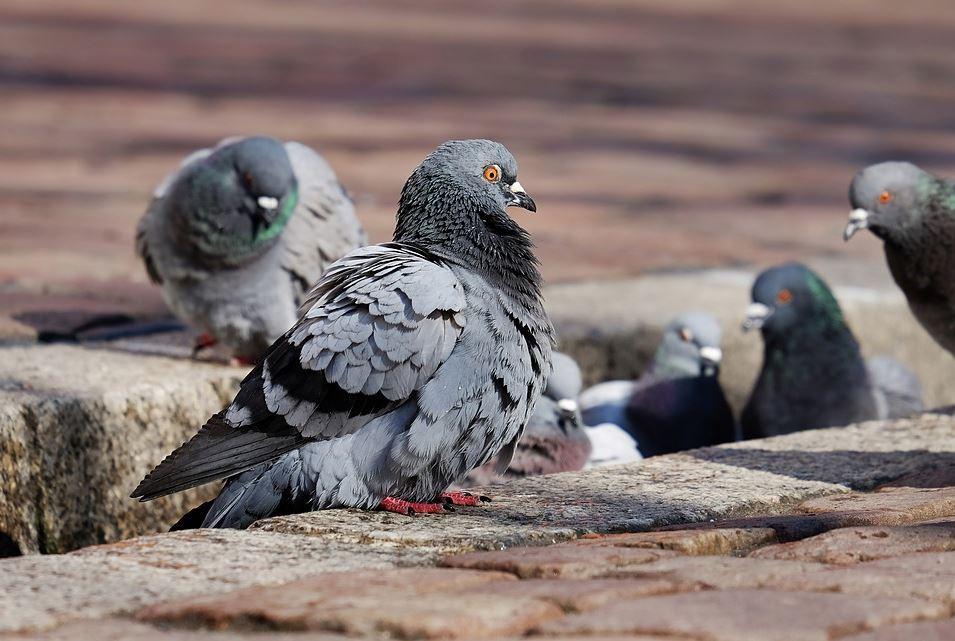 palomas empujan a otra a las vías del tren