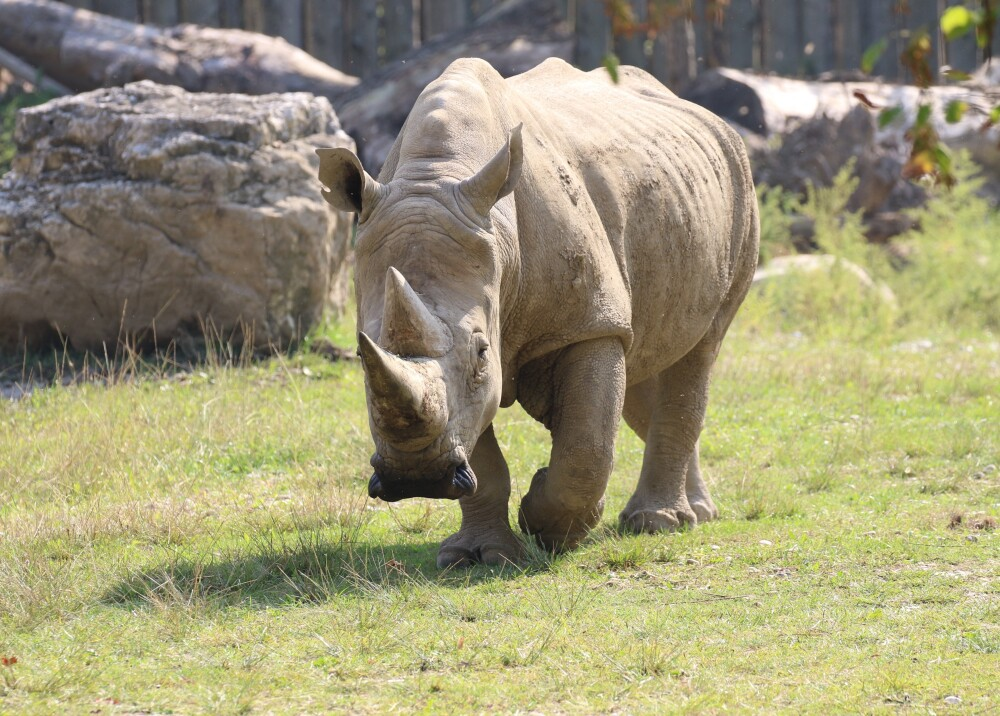 Rinoceronte blanco referencia AFP.jpg