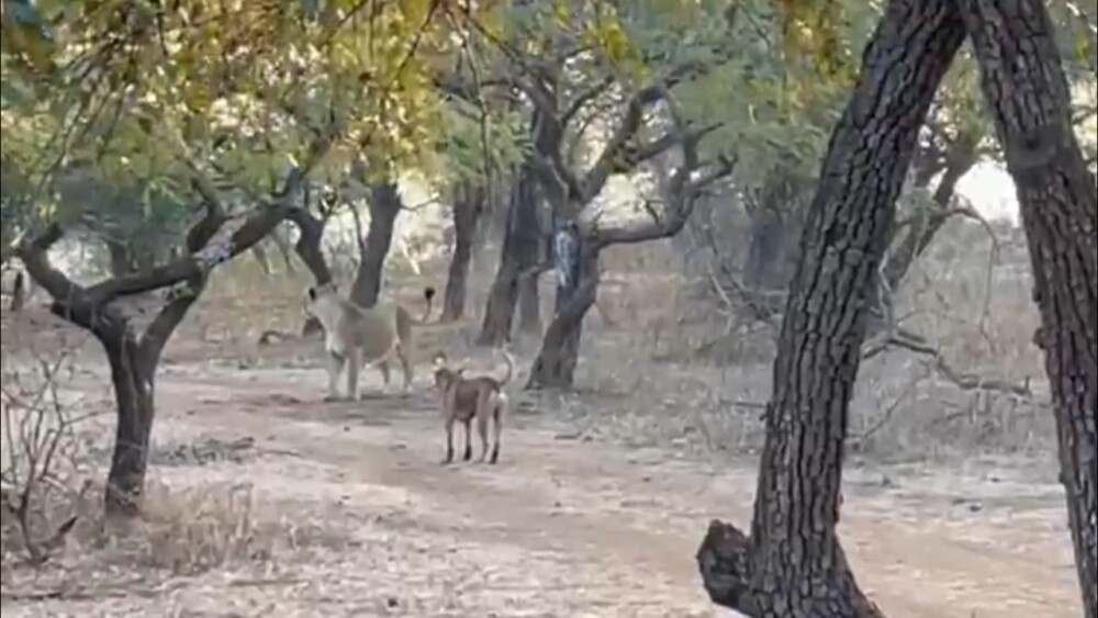 Enfrentamiento leona y perro- video viral foto de Twitter  Parveen Kaswan.jpeg