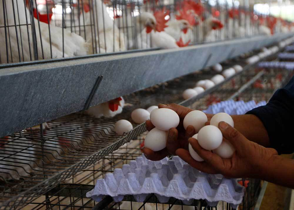 342616_BLU Radio // Granja avícola // Foto: AFP, imagen de referencia