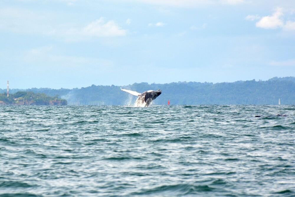 ballena jorobada en el pacifico colombiano foto mario baos blu radio  (5).jpg