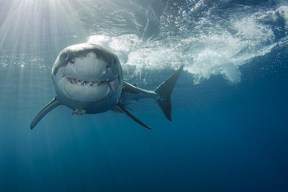 14253_La Kalle - Hombre es mordido por un tiburón mientras surfeaba - Foto: Getty Images
