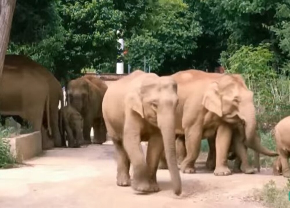 Elefantes en China Foto captura de video.jpg