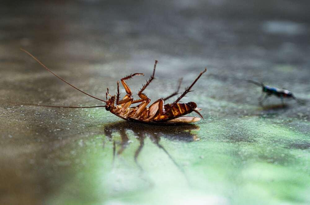 Una cucaracha robótica fue creada por científicos de la Universidad de Berkeley ubicada en California, Estados Unidos.