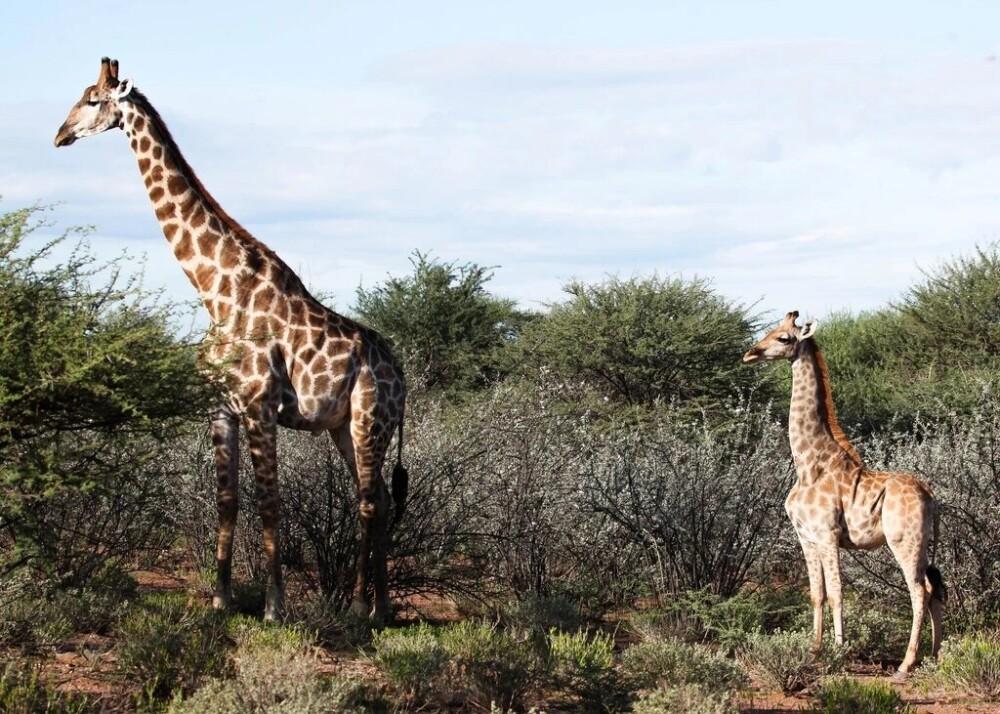 jirafas en la selva - Emma Wells
