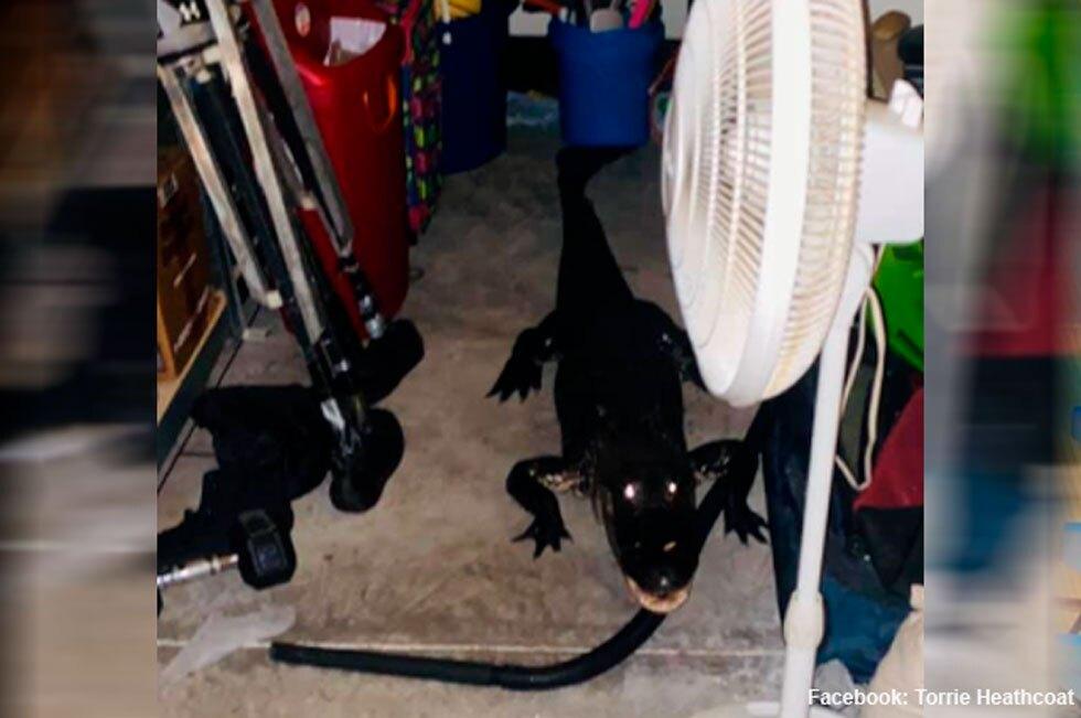 Caimán en garaje de Florida