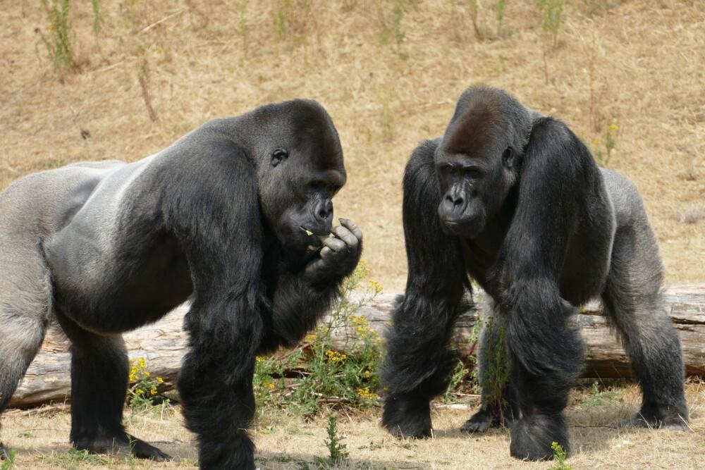 Familia de gorilas es viral en TikTok tras divertida reacción al ver una serpiente en su jaula