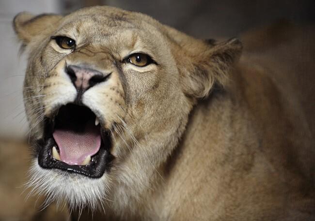 leona foto de referencia_afp
