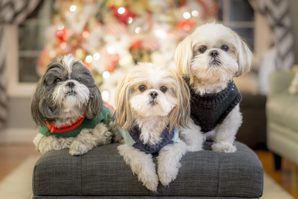 Shih Tzu razas de perros pequeñas
