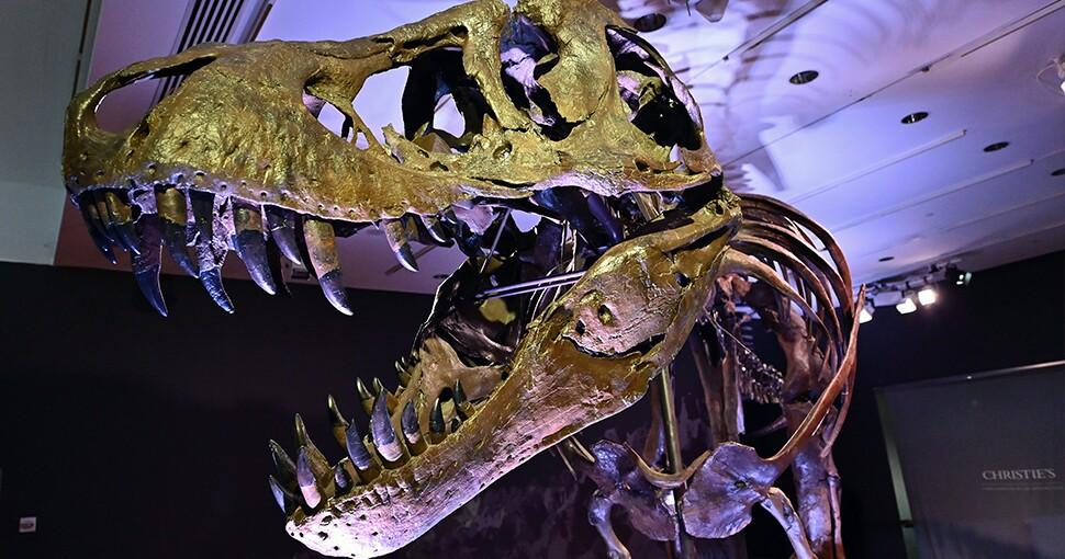 Dinosaurio T-Rex a subasta en Nueva York.jpg