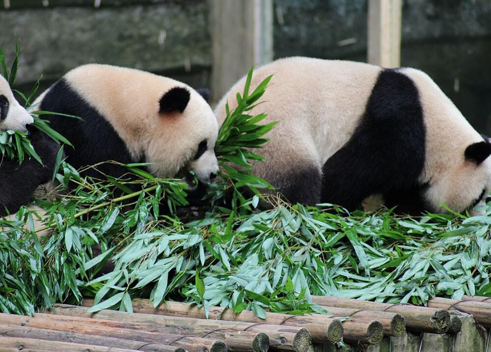 21787_Foto: Ref. Pandas / Pixabay