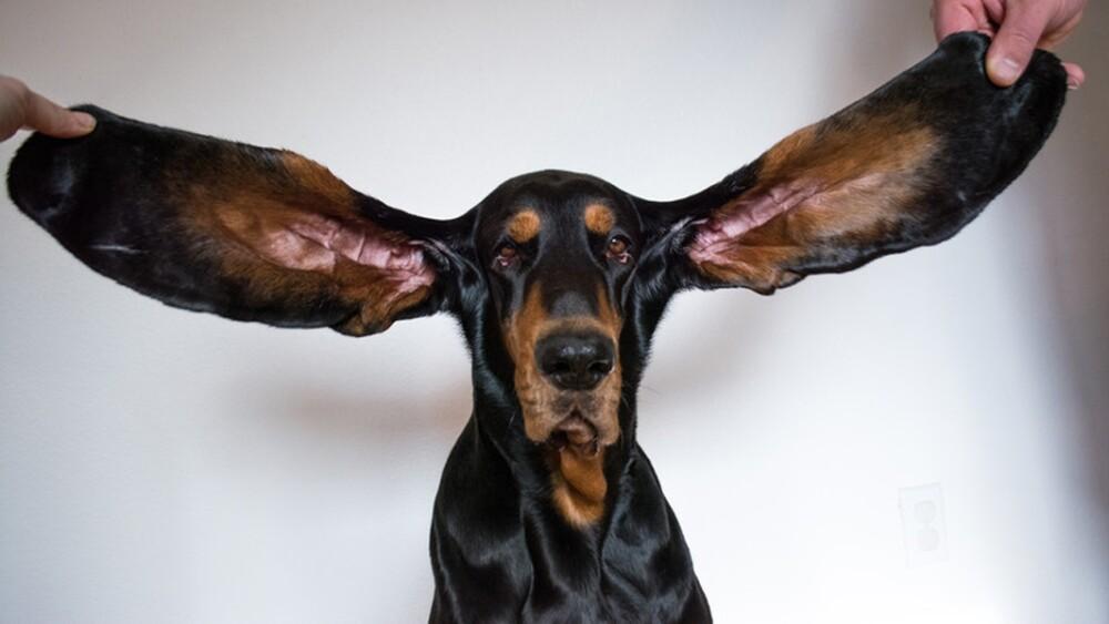Lou, el perro con las orejas más largas del mundo