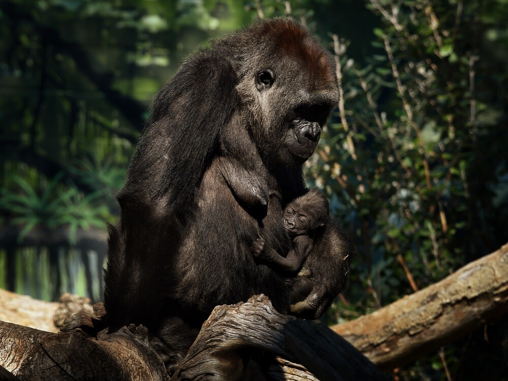 Gorila. Foto: AFP