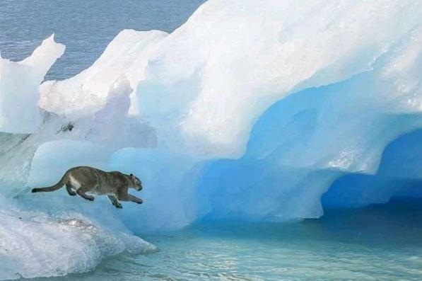 puma en un iceberg en Argentina