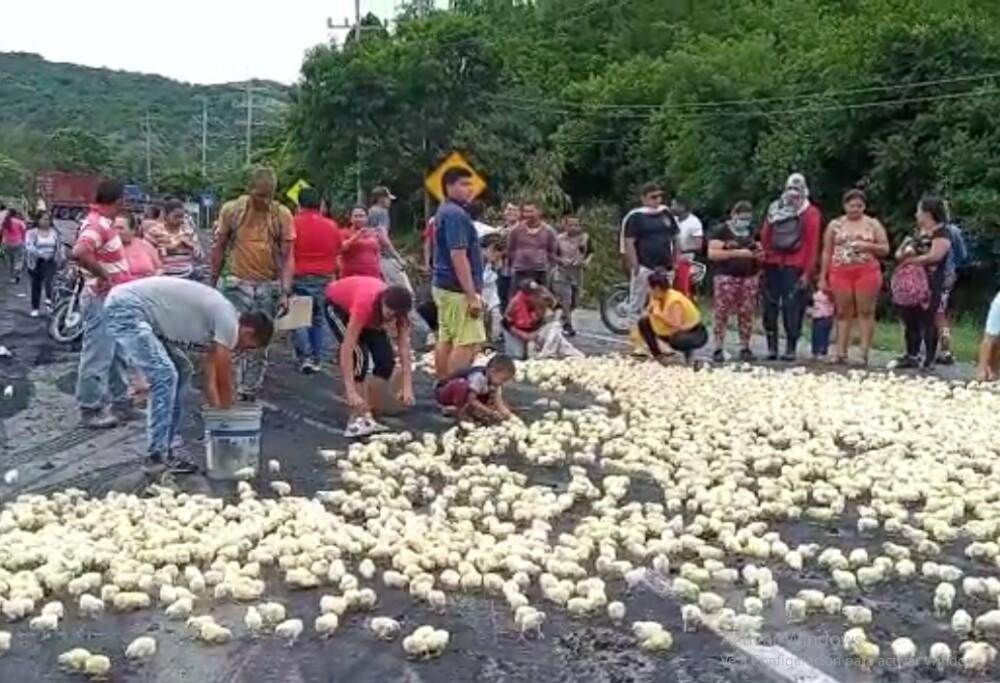 miles de pollitos liberados en el valle del cauca.jpg