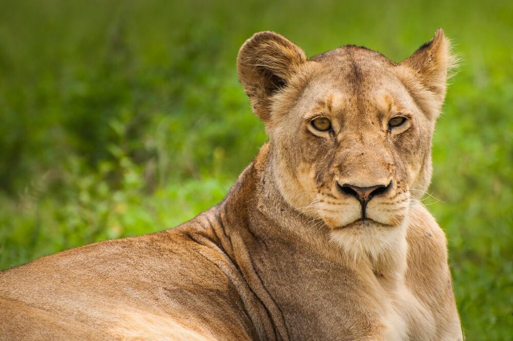 lion-1850112_1920