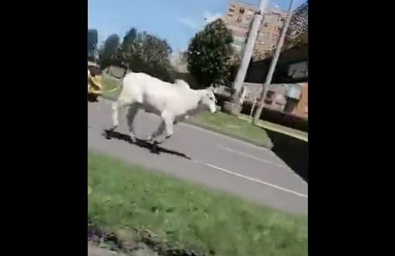 Toro habría escapado del matadero en Bogotá.JPG