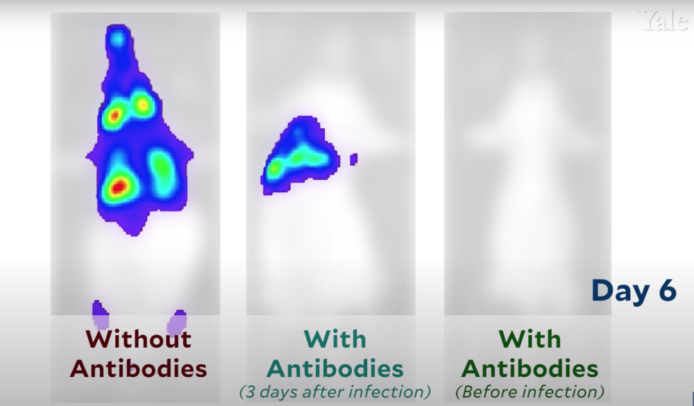 Científicos grabaron cómo se propaga el COVID-19 en el cuerpo de un animal infectado