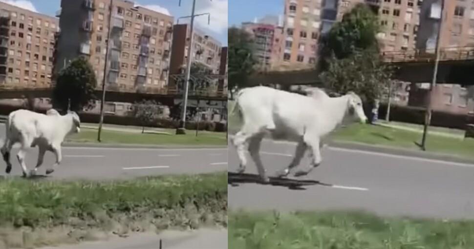 vaca en Bogotá.jpg
