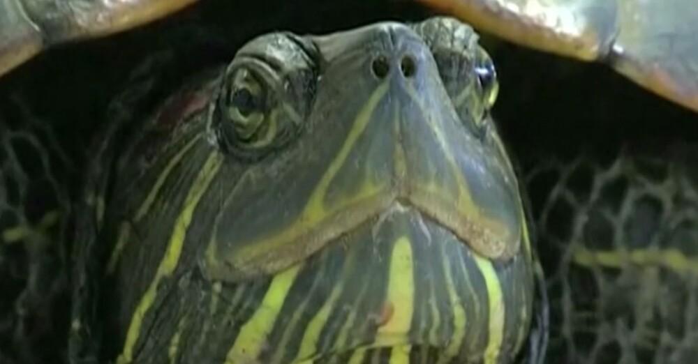 Esta tortuga marina detuvo el tráfico aéreo en un aeropuerto: 5 vuelos terminaron retrasados