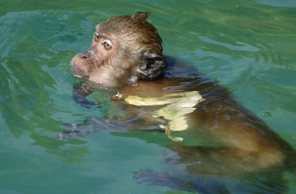 mono nadador.JPG
