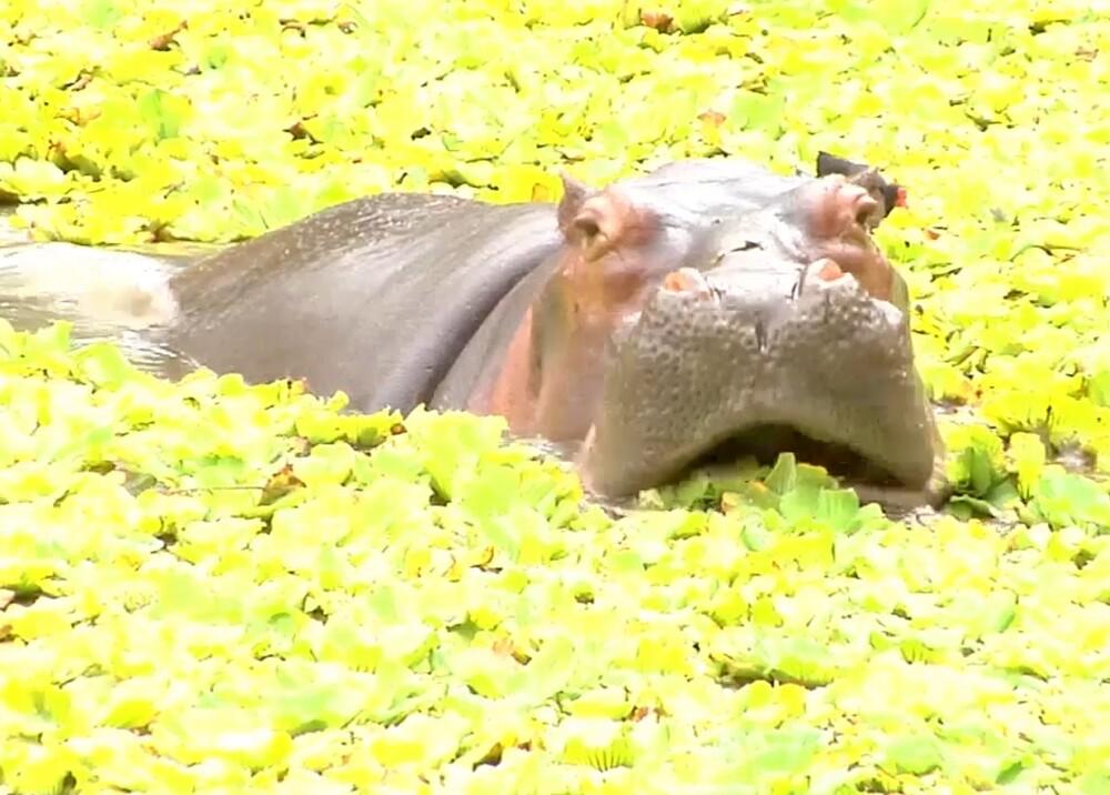 299190_Blu Radio. Hipopótamos Hacienda Nápoles / Foto: Cornare
