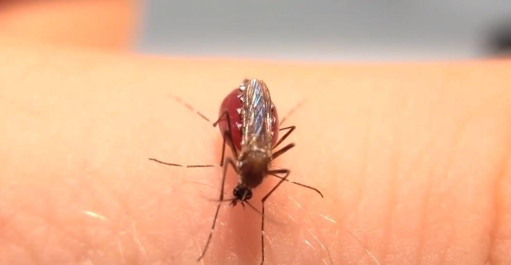 Mosquitos explotan al comer mucho