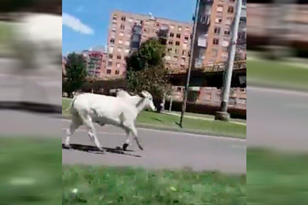 Toro en calles de Bogotá