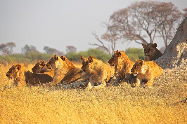 nota-leones.jpg