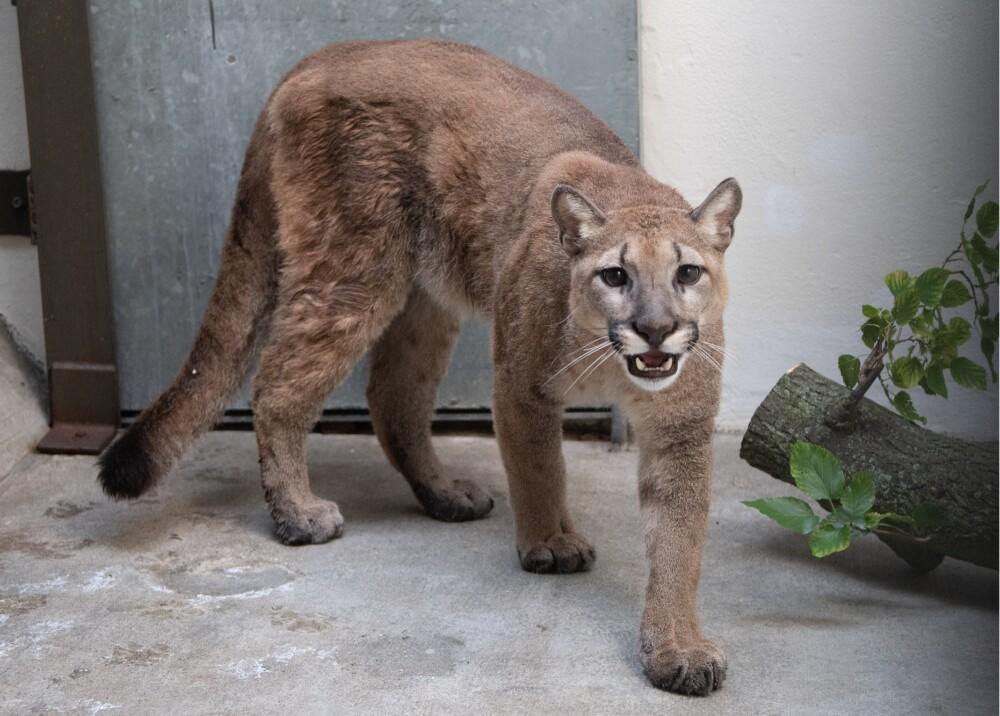 Puma rescatado en apartamento de Nueva York Foto: AFP JULIE LARSEN MAHER/BRONX ZOO.jpg