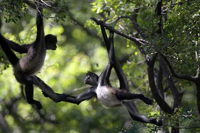 monos arana referencia_afp