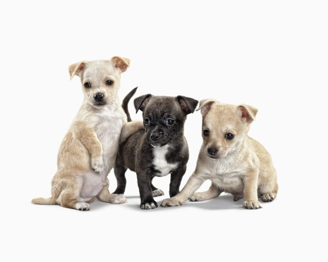 Three cute puppies on white background