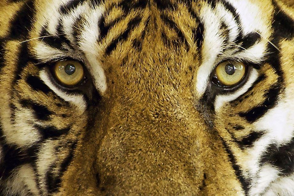 tigresa muere tras inseminación artificial en zoológico de EE. UU.