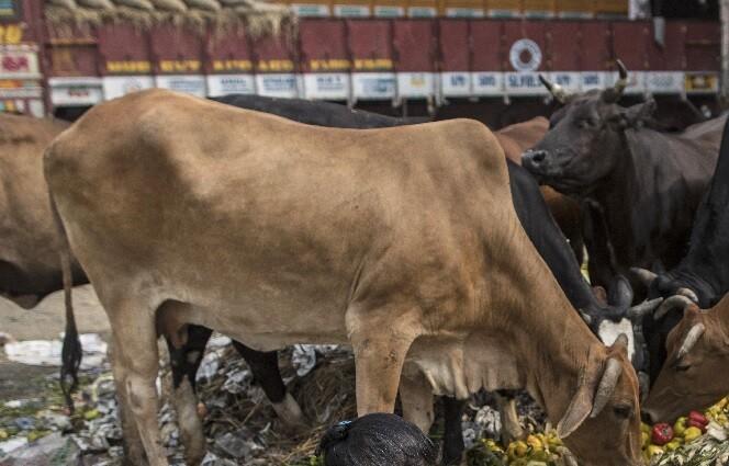 estiercol de vaca en india.jpg