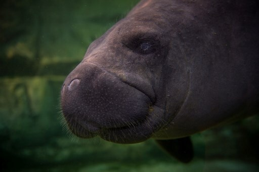 FRANCE-ZOOPARC-MANATEE