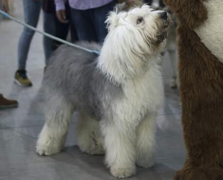 Perro pastor inglés, también conocido como bobtail