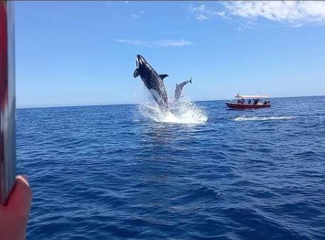 Orca golpea delfin