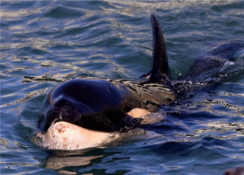 Orca Foto_ referencia AFP.jpg