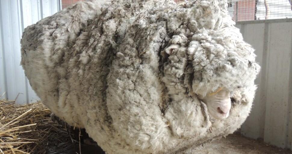 Muere la oveja Chris, famosa por su récord Guinness de lana