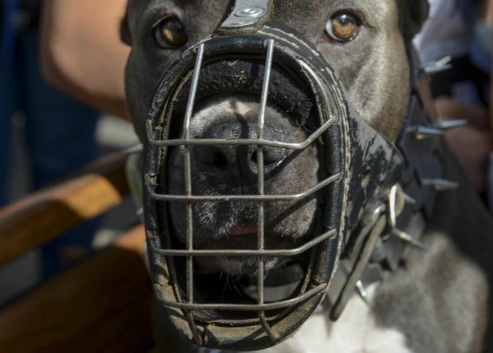 3494_La Kalle - Tres perros pitbull mataron a un ladrón en ciudad Bolívar - Foto referencia AFP
