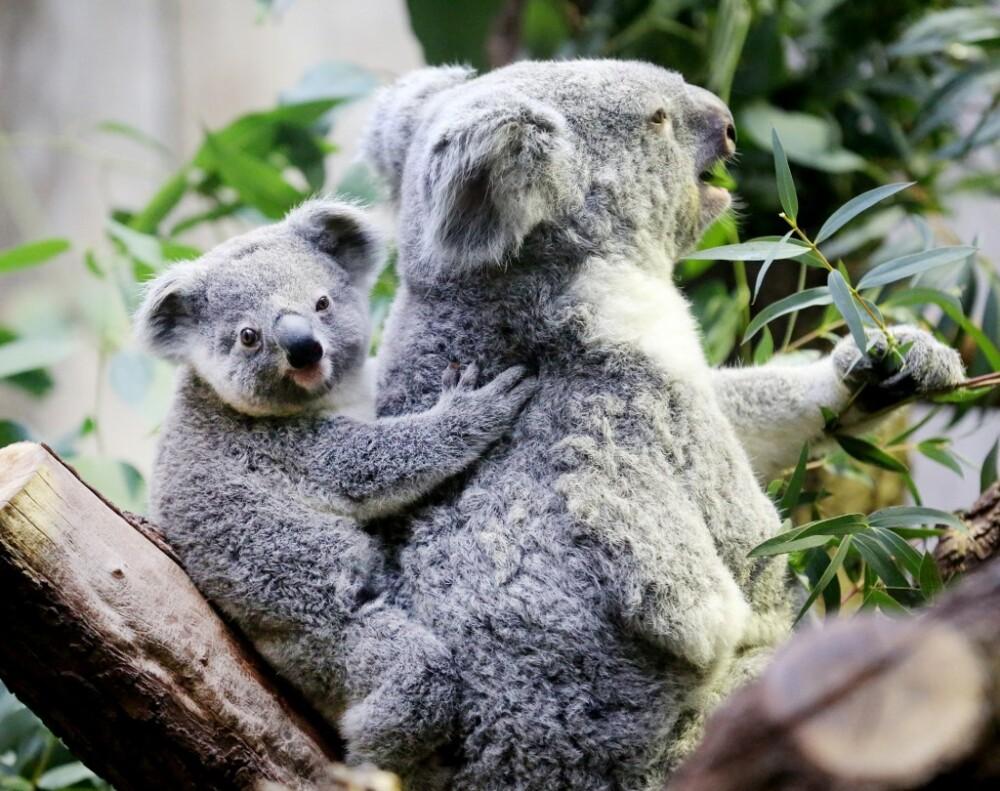 Quieren crear un 'super koala' en Australia