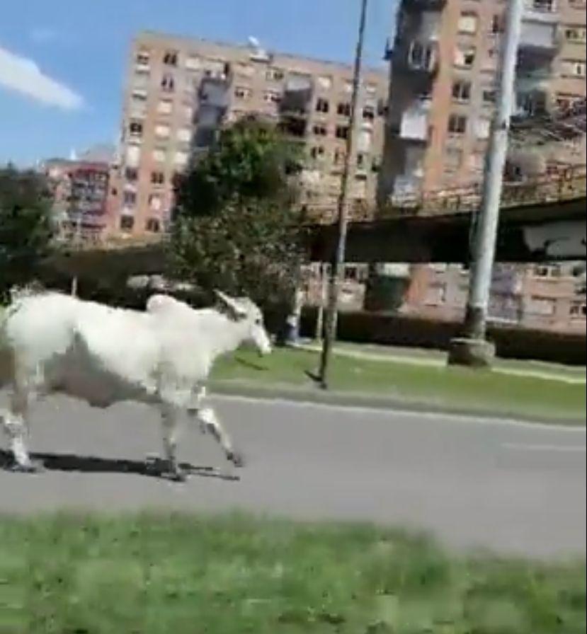 Toro escapa del matadero