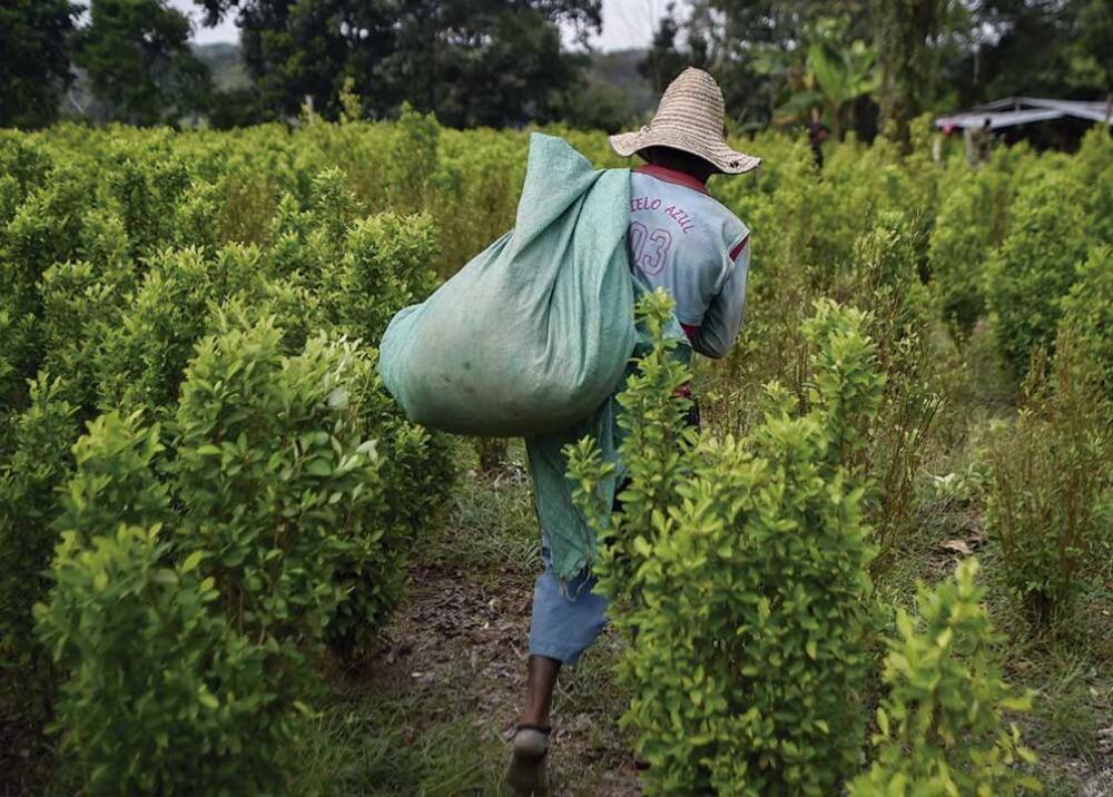 371887_Cultivos de coca / Foto / AFP imagen referencia