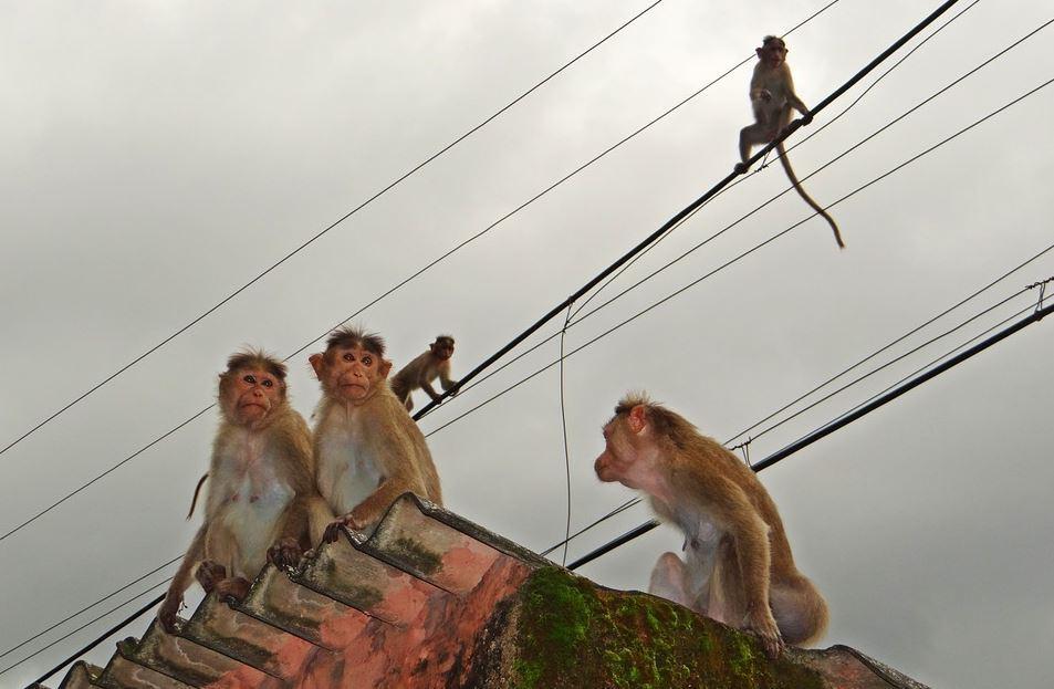 monos en India roban y matan a bebé