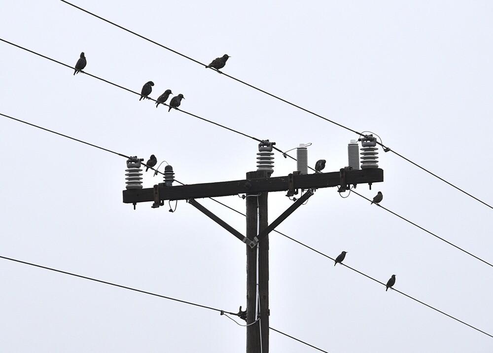 12938_La Kalle. Por qué los pájaros no mueren electrocutados / Foto: Getty Images