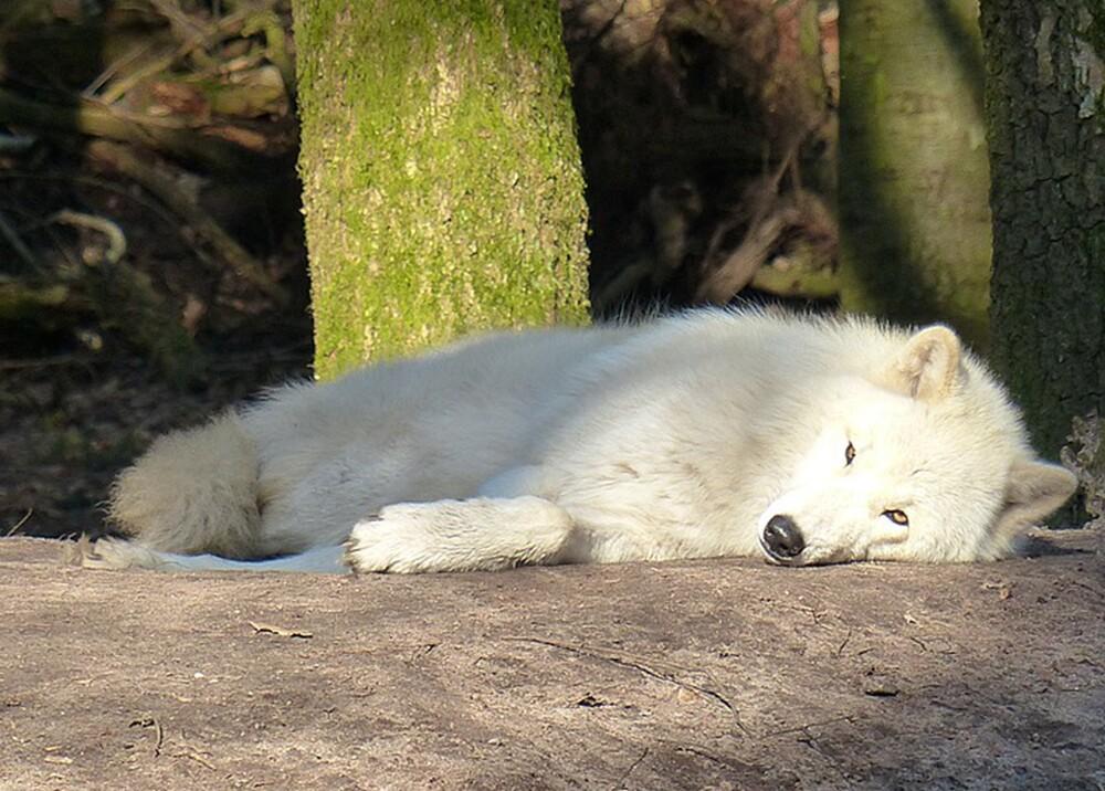 7803_La Kalle. Lobo revive de ataque / Foto: Pixabay