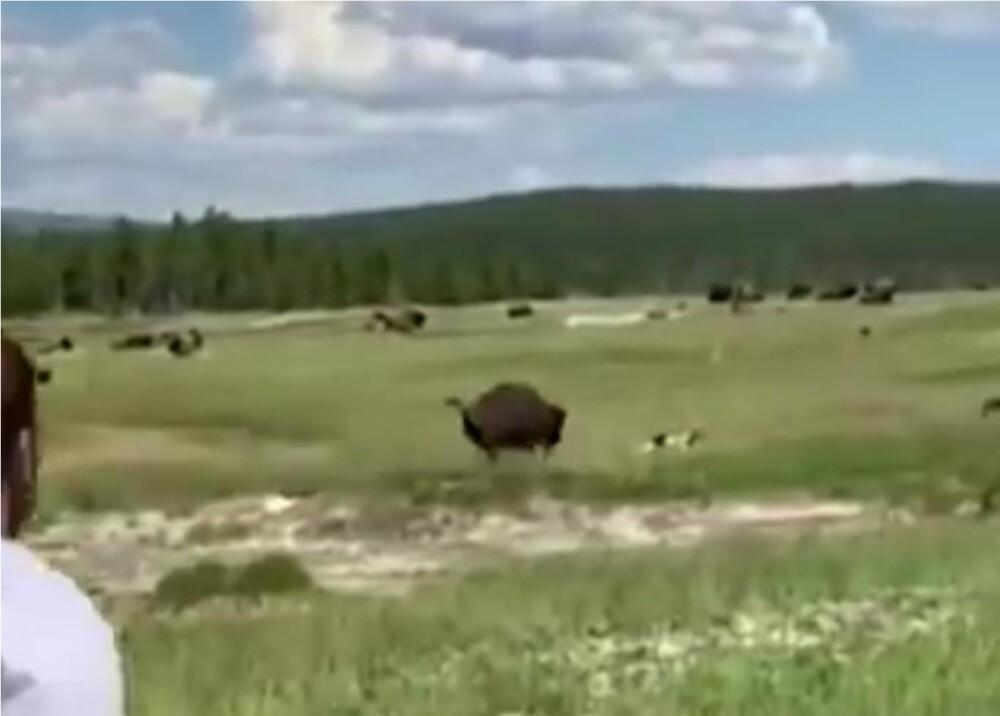 371601_Mujer se hace la muerta para evitar ataque de bisonte // Foto: Captura de video